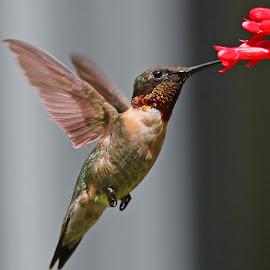 Male Ruby -Throat by Anthony Goldman - Animals Birds ( flight, tampa, bird, hummingbird, feeding, action, wild, male, wildlife,  )