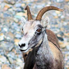 Sheat? by Jim Dicken - Animals Other Mammals ( rocky mountain goat, goat, canada wild goat, yukon animal, rocky mountain sheep, canada animal )
