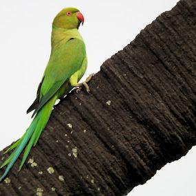 Rose-ringed parakeet. by Govindarajan Raghavan - Animals Birds
