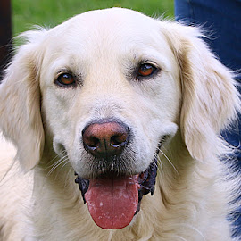 Such a Happy Lad by Chrissie Barrow - Animals - Dogs Portraits ( tongue, pet, ears, pink, dog, nose, cream, portrait, golden retriever, eyes )
