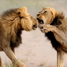 Dueling at Mpaya in K.T.P. by Lorraine Bettex - Animals Lions, Tigers & Big Cats