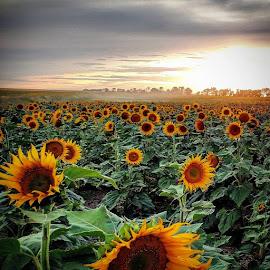 Sunflowers  by Alex Rosenkranz - Flowers Flowers in the Wild (  )