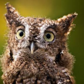 Screech Owl Portrait by Josh Mayes - Animals Birds ( screech, red, owl, close-up, portrait, eyes )