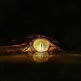 Baby Eye by Bhavya Joshi - Animals Reptiles ( reptiles, macro, nature, marsh crocodile, wildlife )