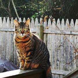 October by Megan O'Mara - Animals - Cats Portraits ( look, cat, kitten, pretty, portrait, eyes, love, fence, tabby cat, fall, trees, backyard, tabby )