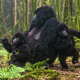 Gorilla Play by Marc Baisden - Animals Other ( adventure, family, safari, gorilla's, travel, africa,  )