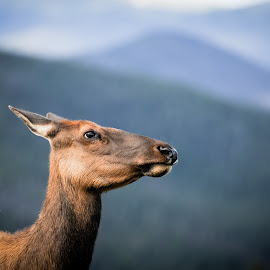 Summertime Elk by Sarah Chambers - Animals Other ( mountain, female, elk, colorado, rocky mountain national park )