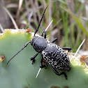 Cactus Longhorned Beetles
