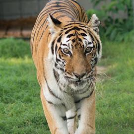 Hobbes, 18 Year Old Tigress by Brian Hochmuth - Animals Lions, Tigers & Big Cats ( tigress, carnivore, big cats, tiger, tigers, apex predator )