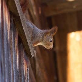 Squirrel by Theodor Dahlby - Animals Other ( hideandseek, cute, sciurus vulgaris, photography, squirrel )