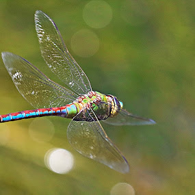 Dragonfly by Johann Fouche - Animals Insects & Spiders ( dragon fly, flying insect, insect in flight, dragonfly, insect,  )