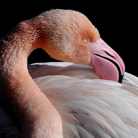 Flamingo in Camargue. by Lorraine Bettex - Animals Birds (  )
