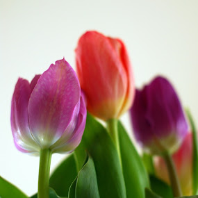 Tulips Ahead by Kevin Pastores - Nature Up Close Flowers - 2011-2013 ( pastel, purple, colorful, blooms, below, peach, tulips, flower, close-up )