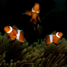 anemone fishes by Weng Cheong Tham - Animals Fish ( fish, anemone )