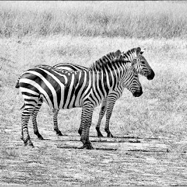 Zebras in the wild by Pravine Chester - Black & White Animals ( zebras, monochrome, black and white, animals, wildlife )