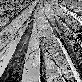 Armstrong Woods #4 by Barbara Brock - Nature Up Close Trees & Bushes ( forest, black and white trees, large trees, woods )