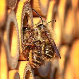 Mason Bees doing what comes natural. by Andrew Lawlor - Animals Insects & Spiders