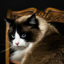 Titus by Bob White - Animals - Cats Portraits ( cat ragdoll blue longhaired love,  )