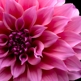 Pinkfection by Mark Ritter - Flowers Single Flower ( floral, macro, pink, dahlia, closeup, flora, flower )