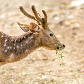 ANIMAL_31_2017 by Malay Maity - Animals Other Mammals ( deer )