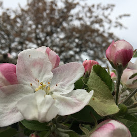 Apfelblüte by Marianne Fischer - Instagram & Mobile iPhone