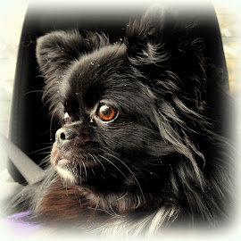 Rocky Watching the Snow by Lisa Hite - Animals - Dogs Portraits