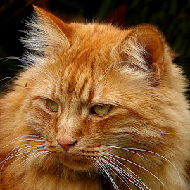 Distracted by Chrissie Barrow - Animals - Cats Portraits ( orange, cat, ginger, pet, whiskers, fur, ears, nose, portrait, eyes )