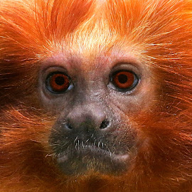 Orange monkey by Claudiu Petrisor - Animals Other ( orange, curious, zoo, sadnes, captive, germany, portrait, monkey, eyes )