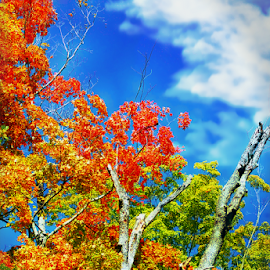 New Hampshire Autumn Tree Blue Sky by Robin Amaral - Nature Up Close Trees & Bushes ( tree tops, leaves, autumn colors, travel locations, flora, tourism, autumn leaves, deciduous, autumn, healthy lifestyle, trees, nature photography,  )