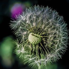 Dandelion seed head macro shot by Sam Kirimli - Nature Up Close Other plants