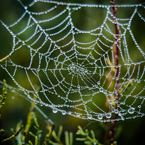 A teia by Carlos Costa - Nature Up Close Webs ( water drops, nature, aveiro, green, web, portugal, vegetation,  )