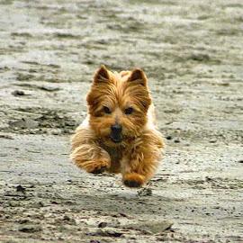 Stampede! by Victoria Eversole - Animals - Dogs Running ( dog running, norwich terrier, beach scenes )