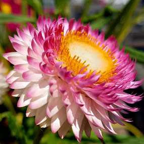 by Kathleen Whalen - Flowers Single Flower (  )