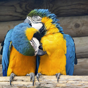 Macaws preening by Fiona Etkin - Animals Birds ( beaks, nature, parrots, feathers, animals, birds, blue and gold macaws,  )