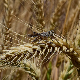 A grasshopper. by Denton Thaves - Landscapes Prairies, Meadows & Fields ( nature photography )