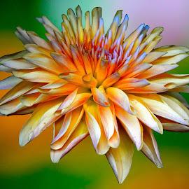 Dahlia by Asif Bora - Flowers Flowers in the Wild