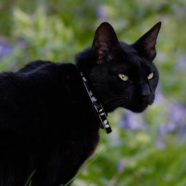 Lickerish by Glyn Lewis - Animals - Cats Portraits ( cat, black,  )
