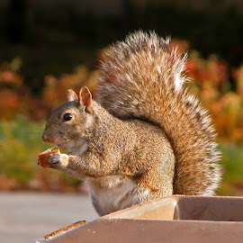 Urban Lunch by Debbie Salvesen - Animals Other ( lincoln park, urban, scavenger, illinois, nature, zoo, food, foraging, trash, wildlife, chicago, squirrel,  )