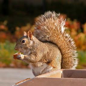 Urban Lunch by Debbie Salvesen - Animals Other ( lincoln park, urban, scavenger, illinois, nature, zoo, food, foraging, trash, wildlife, chicago, squirrel,  )