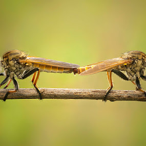 RF Mating by Prana Jagannatha - Animals Insects & Spiders ( wildlife, mating, insect, robberfly )