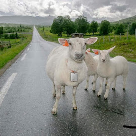 Road sheep by Kjersti Narmo - Animals Other Mammals ( mountain, road, animal, sheep, summer )