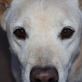 I'm watching you by Maria Epperhart - Animals - Dogs Portraits ( staring, pet, companion, dog portrait, animal, eyes,  )