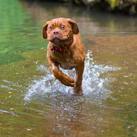 Mason by Jenny Trigg - Animals - Dogs Puppies ( water, puppies, dogue de bordeaux, puppy, running )