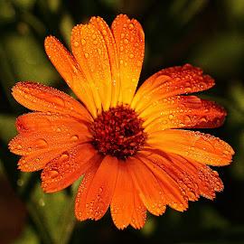 Y'a un souci ...? by Gérard CHATENET - Flowers Single Flower