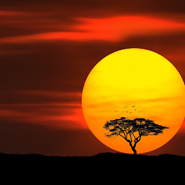 Circle Of Life by Bess Hamiti - Landscapes Sunsets & Sunrises ( bird, clouds, tree, nature, season, sunset, sillhuete, night, earth, landscape, sun )