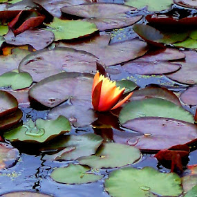 water lily by Nicole Janse van Vuuren - Novices Only Flowers & Plants