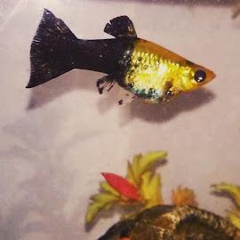 Pregnant Molly by Susan R Thomas - Animals Fish