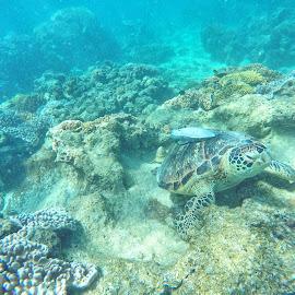 turtle and suckerfish by Glen John Terry  - Animals Sea Creatures ( turtle, suckerfish,  )