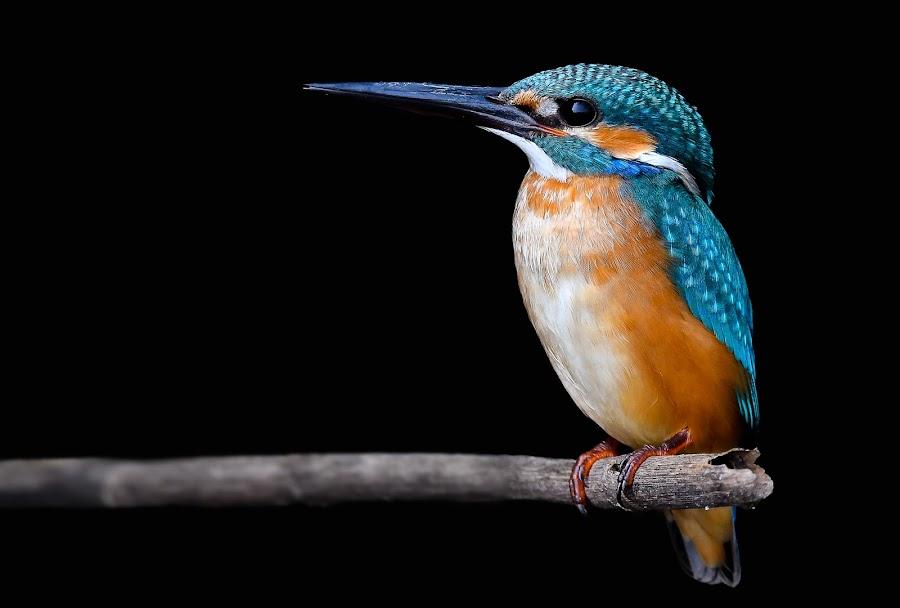 Common Kingfisher (Alcedo Atthis) by Rahul Chakraborty - Animals Birds (  )