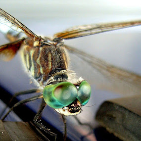Dragonfly by Peggy LaFlesh - Animals Insects & Spiders (  )